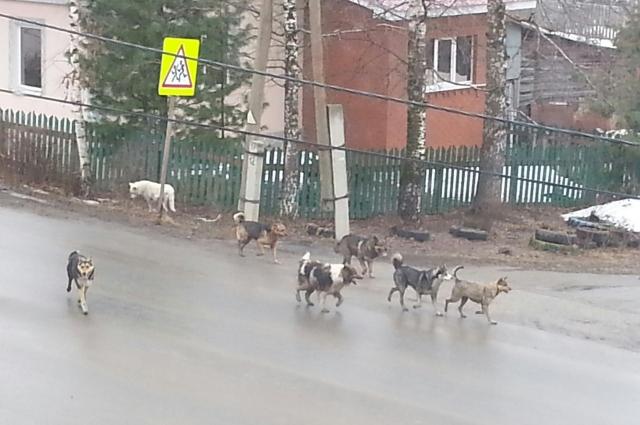 Собаки чувствуют себя хозяевами на лысьвенских дорогах.