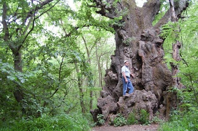Тополь-гигант на Сафоновой даче, толщина ствола - четыре метра.