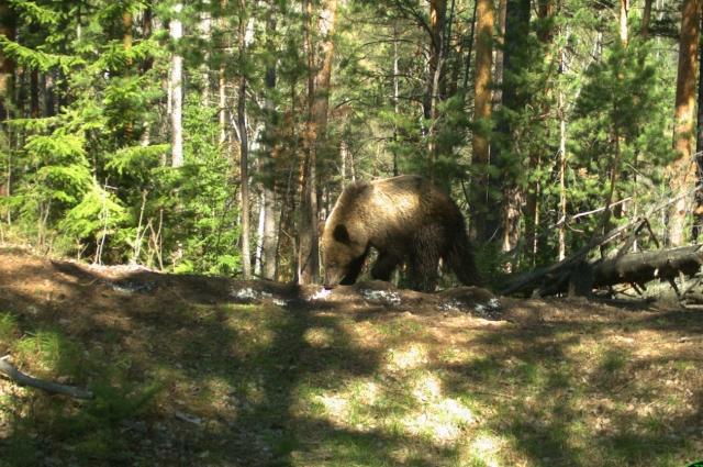 Шесть дней медведь гнал женщину всё дальше от дороги.