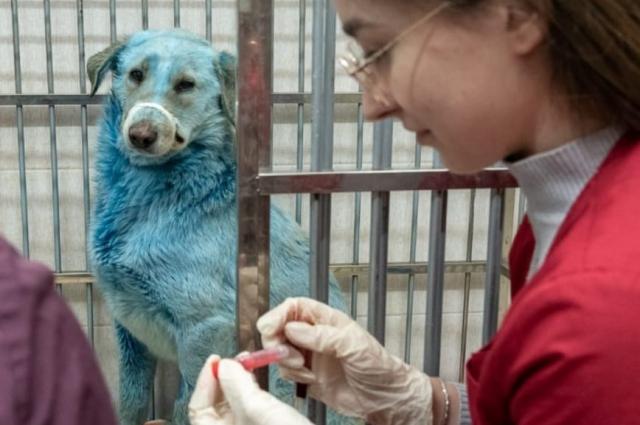 С голубыми собаками работают ветеринары.