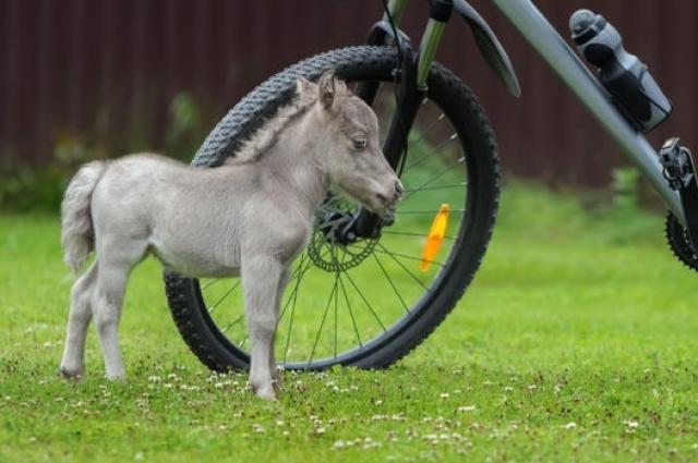 Гулливер претендует на звание самого маленького жеребенка в мире.