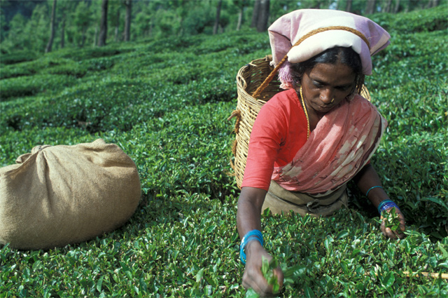 Самый ароматный чай собирается только вручную и только женщинами.