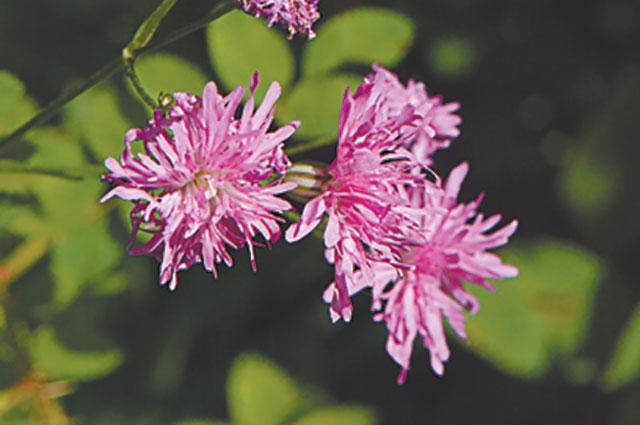 Махровый горицвет (лихнис) 'Jenny'.