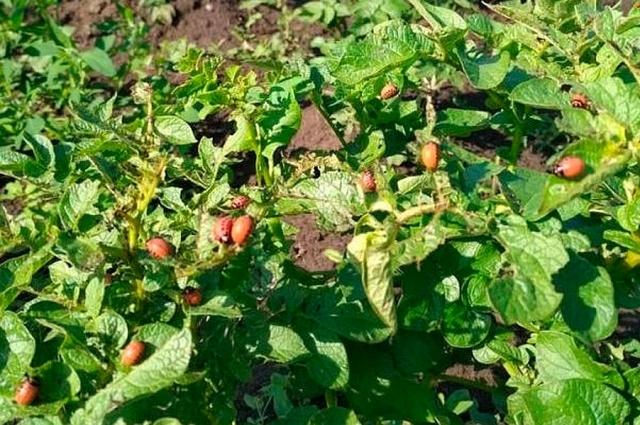 Колорадский жук на картофеле.