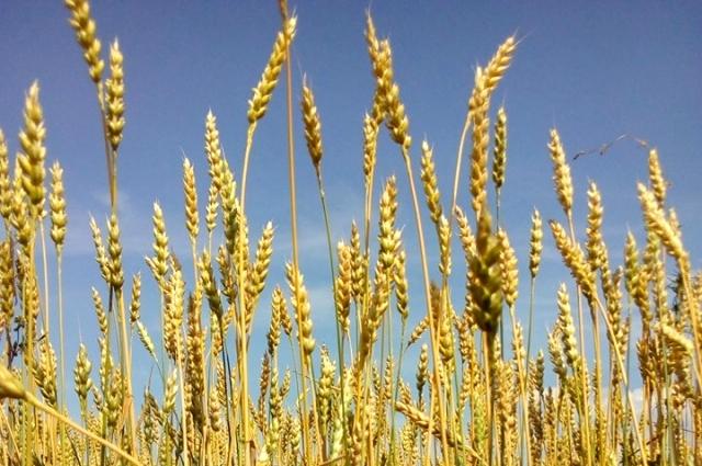 Глютен содержится в семенах злаковых растений.