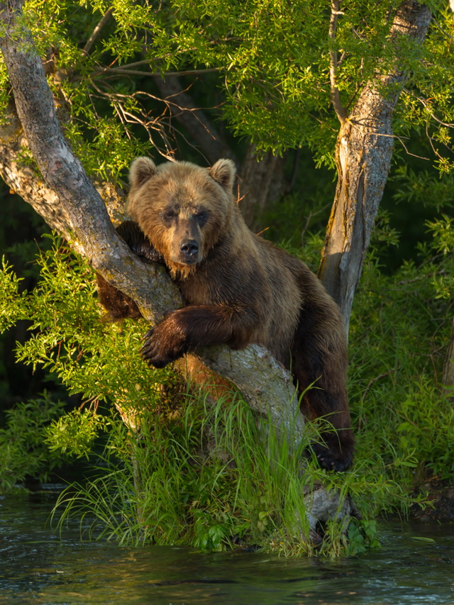 Медведи на Курильском озере давно уже толерантные.