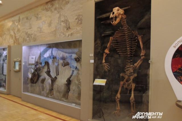 Скелет Пещерного медведя.