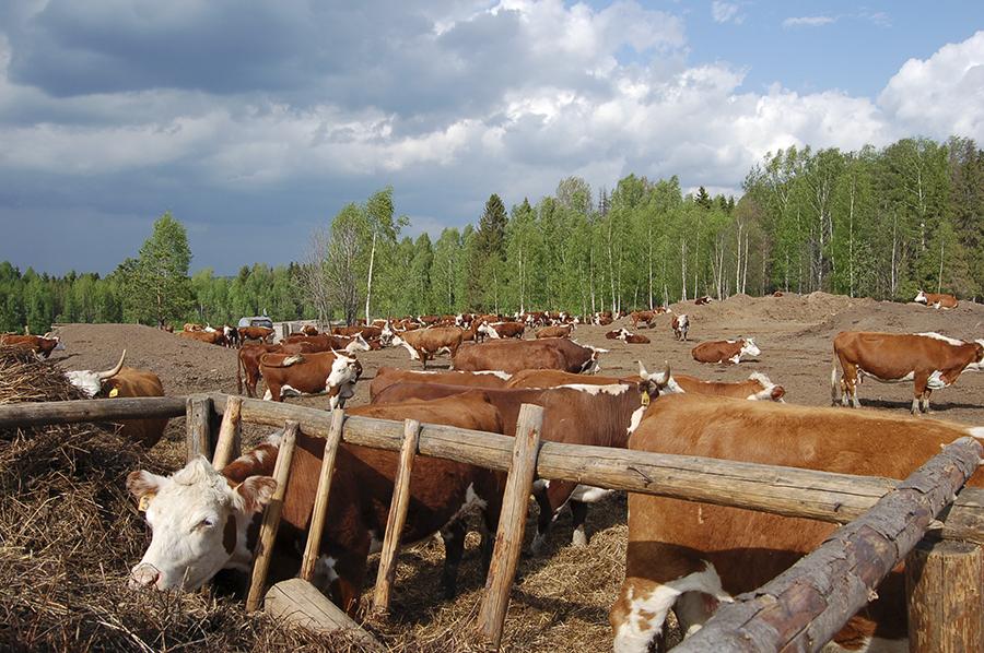 Несколько лет назад поголовье коров достигало 250.