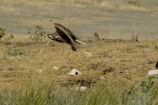 Сокол-балобан живет в оренбургских степях уже четвертый год.