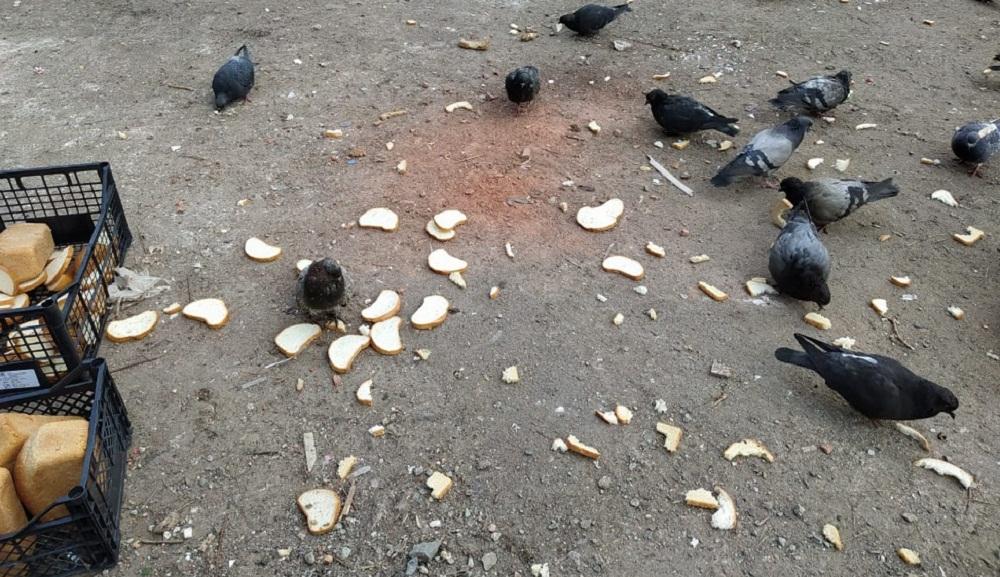 Челябинские голуби сейчас тоже голодные