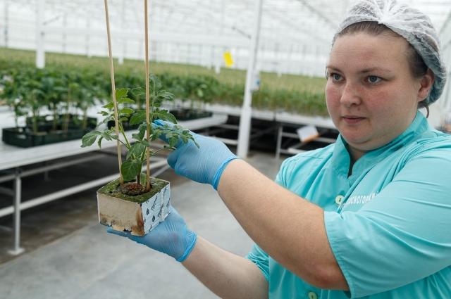 На предприятии применяется передовое инновационное оборудование и технологии выращивания овощей Ultra Clima. Они позволяют в любое время года поддерживать нужный микроклимат, защищать от проникновения насекомых, экономить на отоплении.