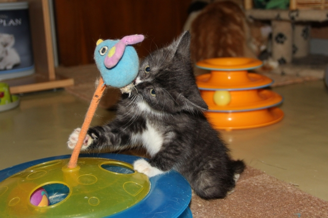 Петербургская зоозащитница приютила липецкого котенка Мультика.