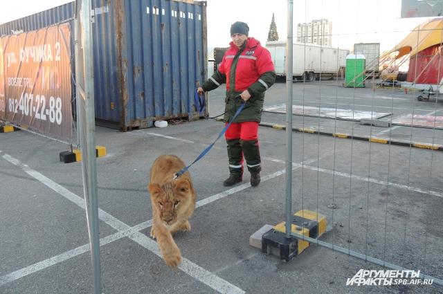 Владислав выводит льва Рому за пределы цирка.