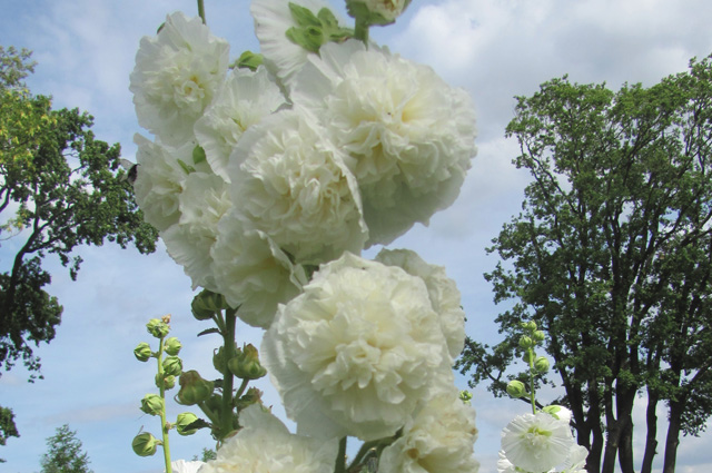 'Chaters White'.
