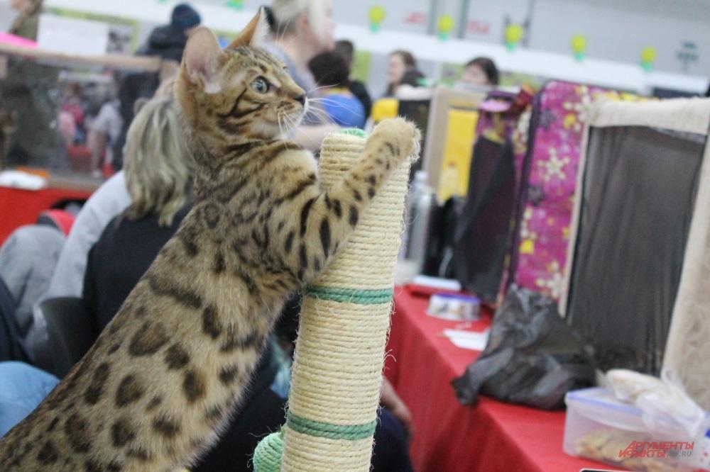 Весенняя выставка кошек в Перми