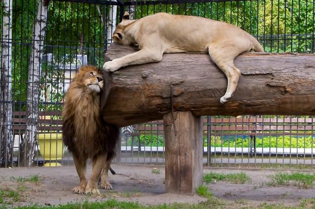 Сейчас льву Алтаю уже восемь лет, у него есть свой вольер и львица.
