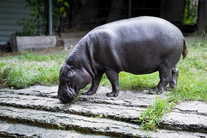 Самый старый в мире зоопарковый карликовый бегемот.