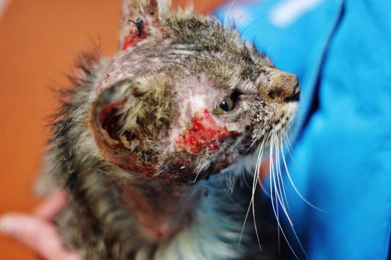 Две недели ветеринары боролись за жизнь пермского кота.