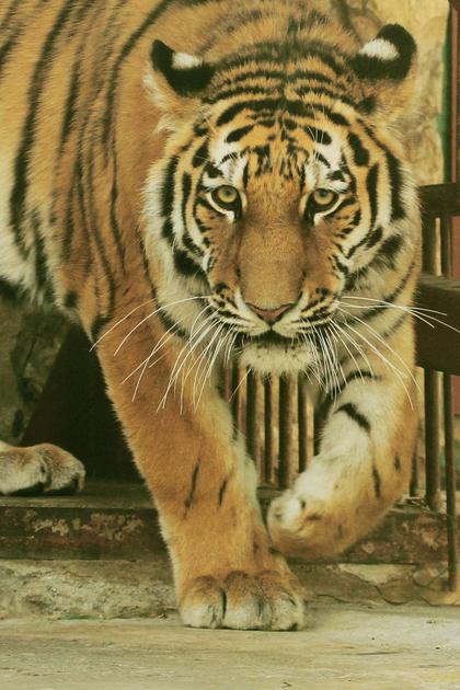Тигр по имени Джагар.