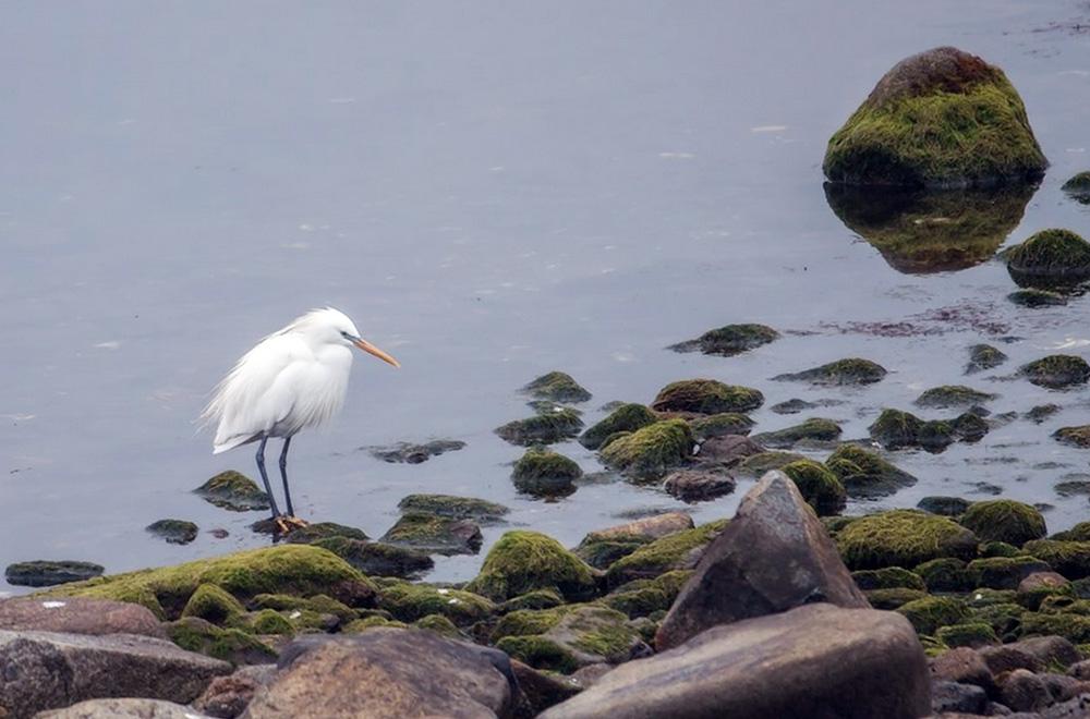 Желтоклювая цапля включена в Красную книгу Международного союза охраны природы