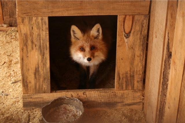 Лисичку нашли жители деревни, в которой она воровала урожай.