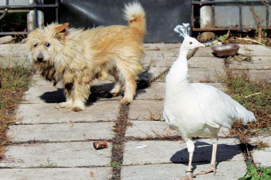 Звери и птицы мирно уживаются на подворье.