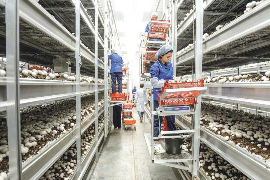 Шампиньоны производят по передовой голландской технологии.