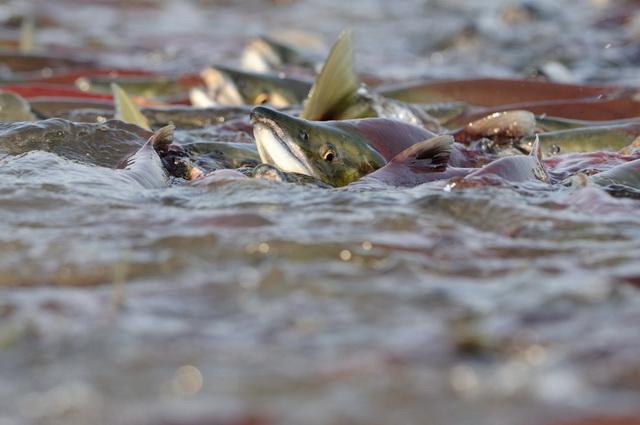 Нерка на озере Курильское