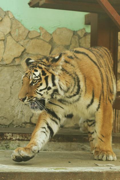 Тигр по имени Джагар