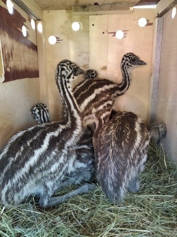 Экзотические виды животных и птиц, Фурсо разводят души