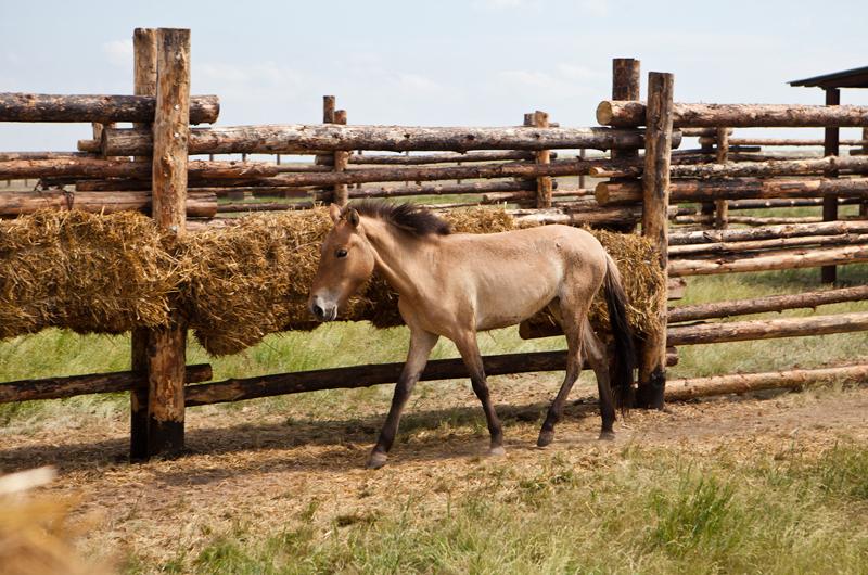Первая обитательница Оренбургской тарпании лошадка Саша