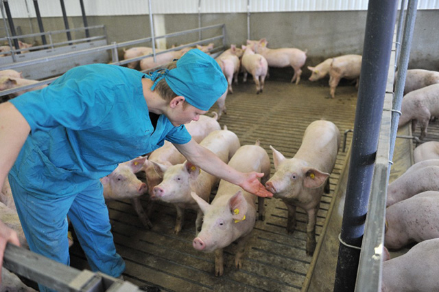 Свиноферма, свинокомплекс