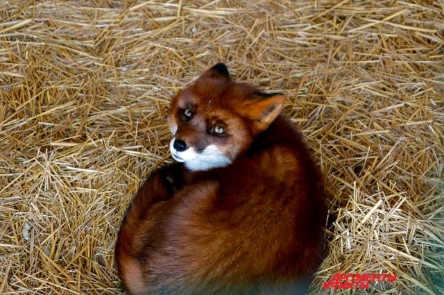 Лисица самарского зоопарка
