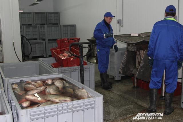 Станок-барабан единственная механическая машина по обработке рыбы, всё остальное делают женские руки