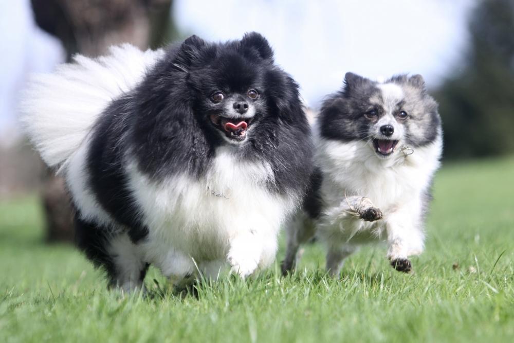 Собаки породы шпиц идеальны для дрессуры.