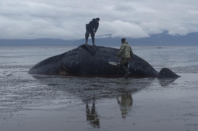 Гренландский кит убитый косатками
