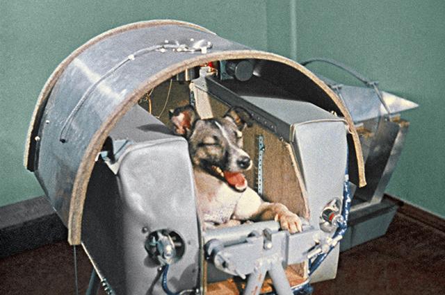 Собаку-космонавта Лайку готовят к полету на втором искусственном спутнике Земли. Кадр из документального фильма «Советы в Космосе». Лайка полетела в космос 3 ноября 1957 года и погибла. Космодром Байконур.