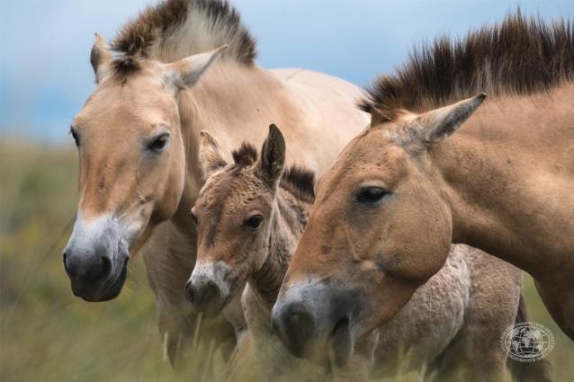 Косяк лошадей Пржевальского в Оренбургском заповеднике.