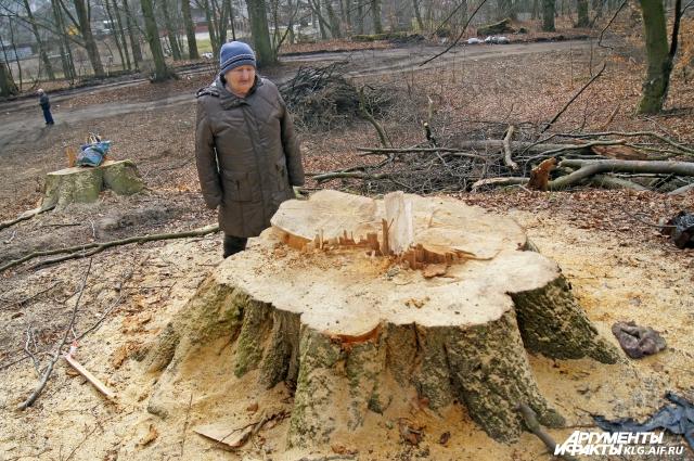 Под Калининградом вырубили лес времен Кенигсберга.