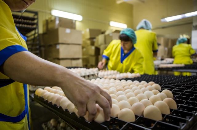 Работники «Саянского бройлера» с особой ответственностью относятся к производству.