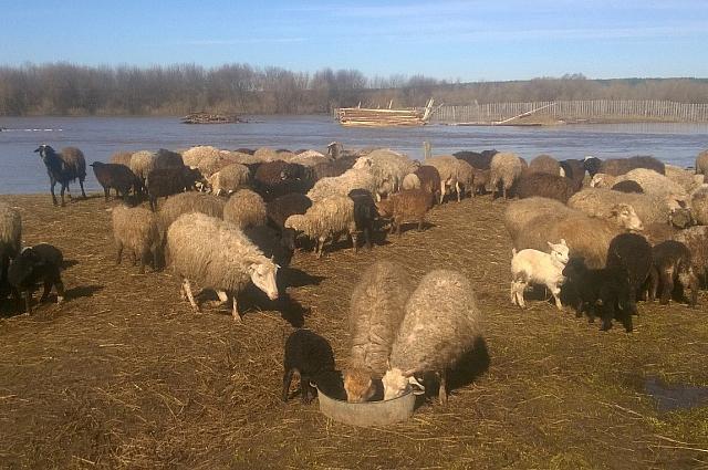 Овцы в частном владении семьи Радостевых.