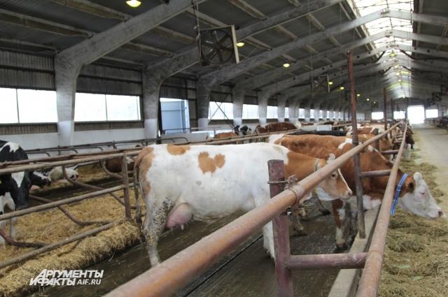 В посёлке Вороново получают молоко от иностранных бурёнок.