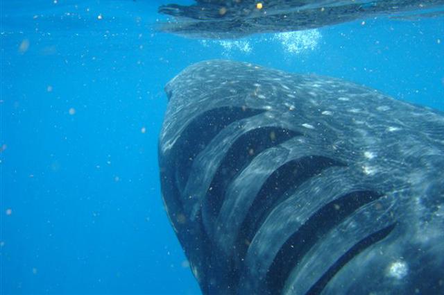 Жаберные щели китовой акулы.