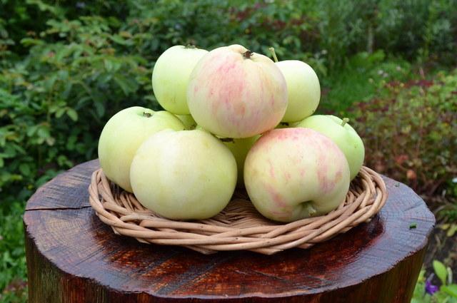 Яблоки сорт грушовка ранняя