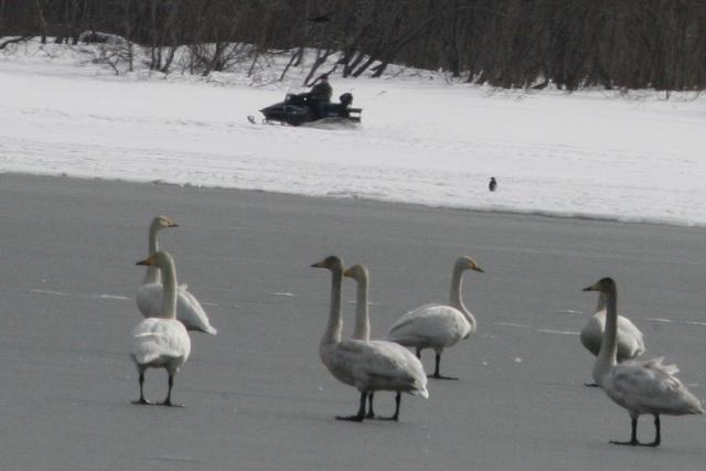 Лебеди привыкли к звуку мотора.