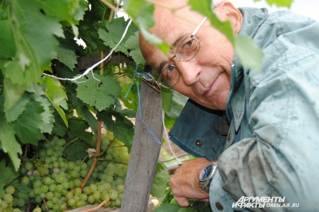 Хороший урожай винограда можно выращивать и на Южном Урале.