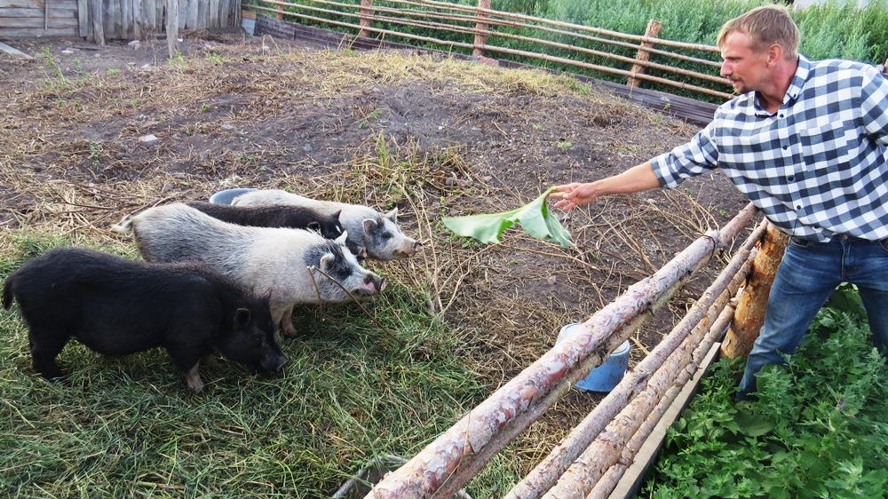 Породистые свиньи в хозяйстве тоже имеются.