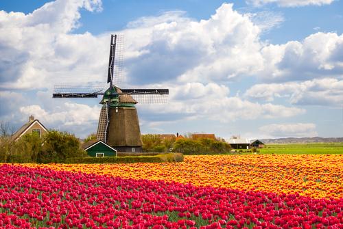 Тюльпаны, Голландия, поле, мельница