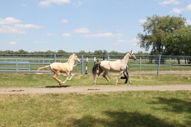 Какой бы масти ни был туркменские кони, они всегда вызывают восторг.