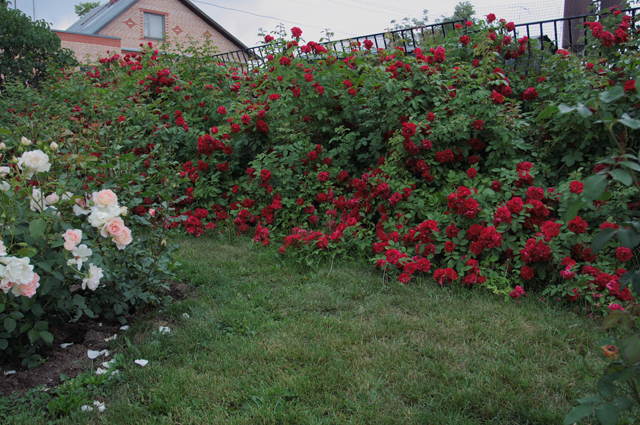 Плетистые розы Flammentanz замаскировали забор